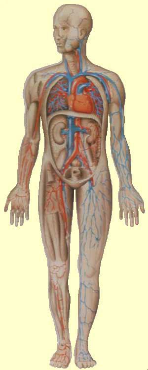 и кровеносной системы (в